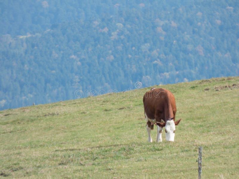 Vaca en un pasto en las montañas imágenes de archivo libres de regalías