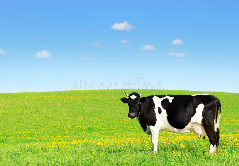 Vaca en un prado verde imagenes de archivo