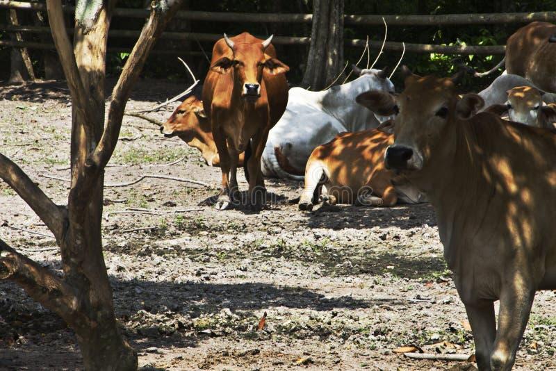 Vaca en vertiente fotografía de archivo