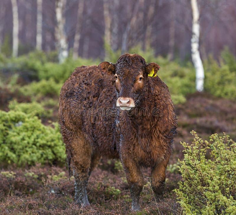 Vaca escocesa da bezerra em um dia muito molhado. imagem de stock