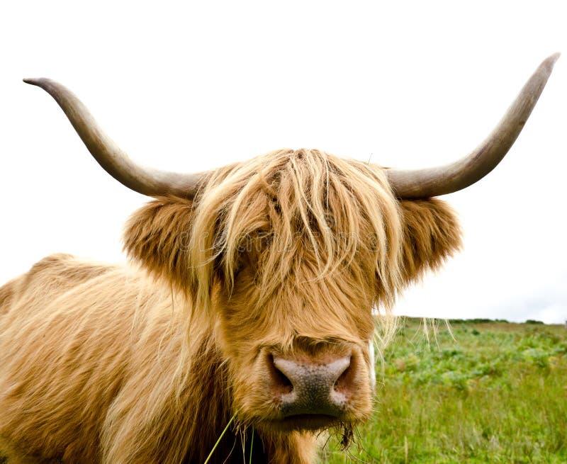 Vaca escocesa das montanhas fotos de stock royalty free