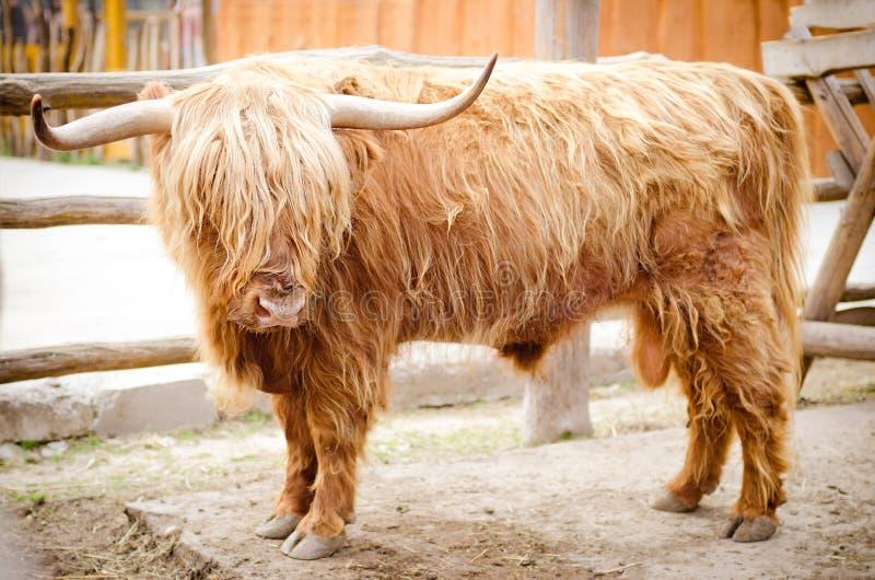 Vaca escocesa das montanhas fotografia de stock