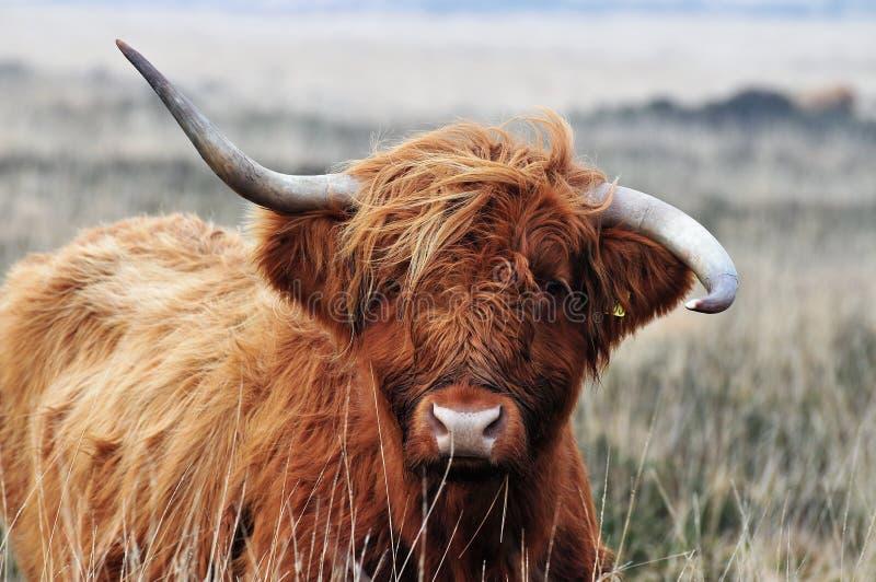 Vaca escocesa de la montaña con los horms poco firmes fotografía de archivo libre de regalías