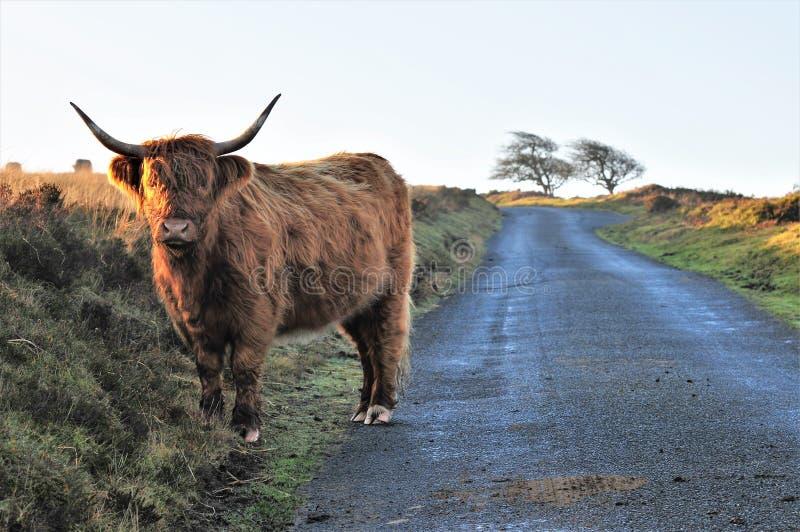 Vaca escocesa de la montaña en un carril del país en paramera fotos de archivo libres de regalías