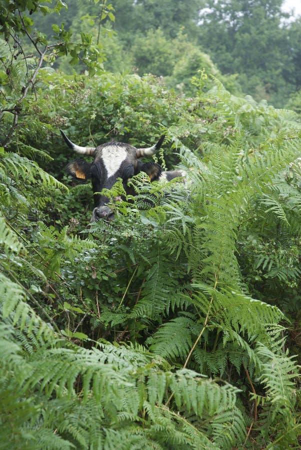 Vaca escondendo, preto e branco, escondendo nas samambaias fotos de stock royalty free