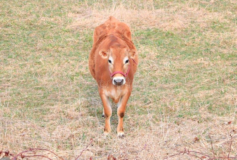 Vaca fêmea do jérsei do retrato largo fotos de stock