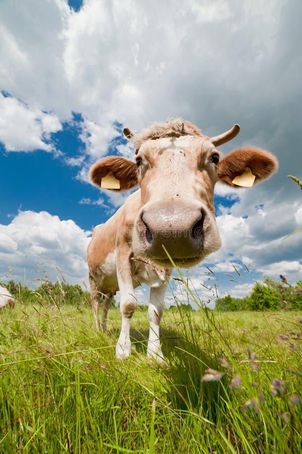 Vaca feliz y entrometida en granja ecológica imágenes de archivo libres de regalías