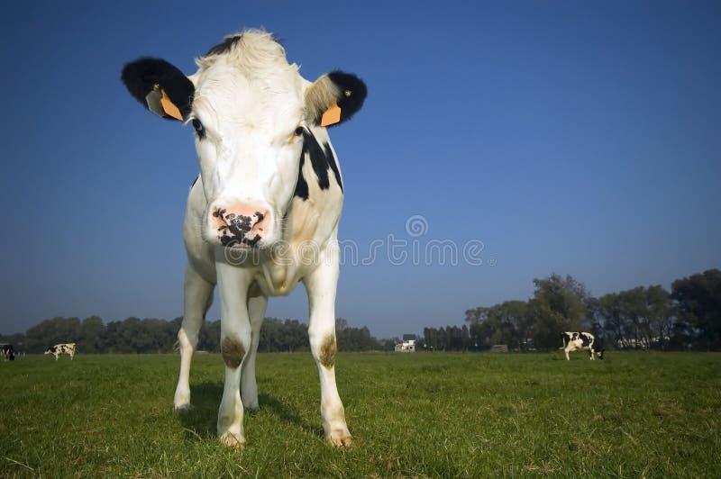 Vaca flamenca en el campo fotos de archivo