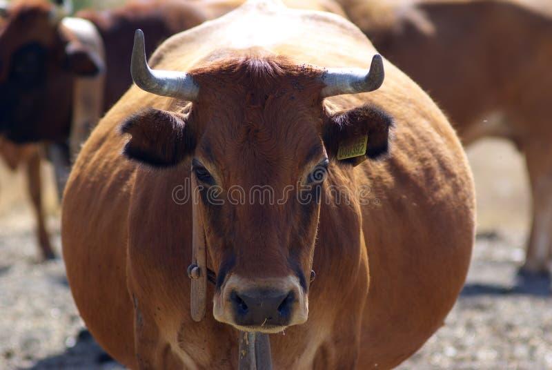 Vaca gorda foto de stock royalty free
