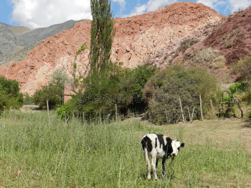 Vaca hermosa en un pueblo en Jujuy argentina imagenes de archivo