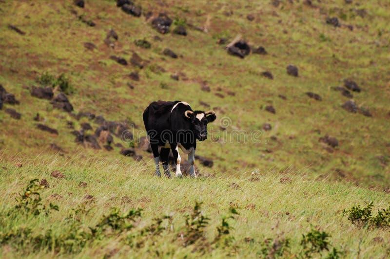 Vaca - Ilha de Páscoa foto de stock
