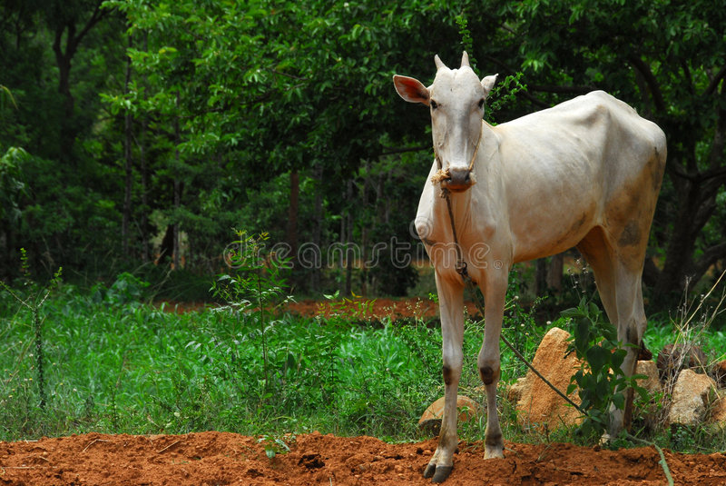 Vaca indiana imagens de stock royalty free