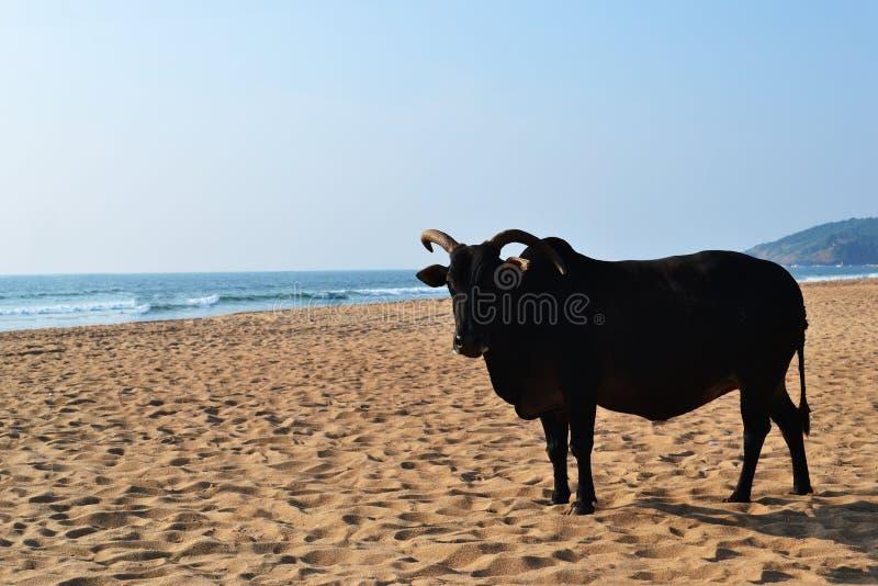 Vaca indiana em uma praia dourada fotos de stock