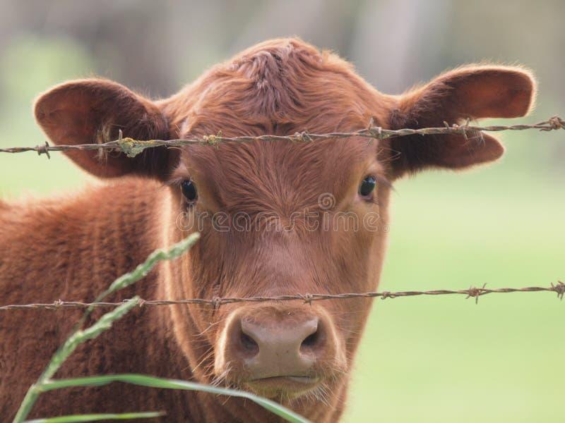 Vaca inquisidora imagens de stock royalty free