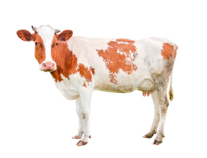 Vaca joven hermosa aislada en blanco y loking en cámara foto de archivo