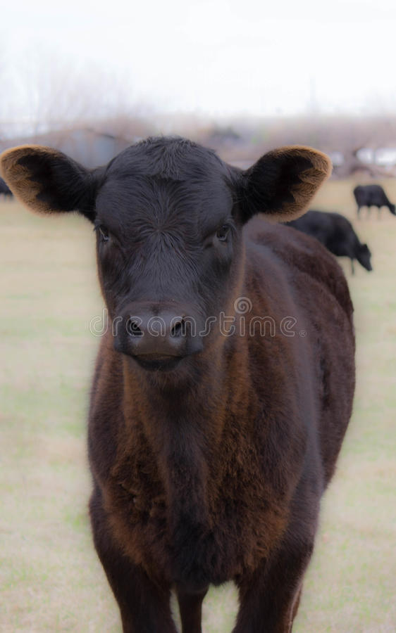 Vaca juvenil preta que olha na câmera imagens de stock