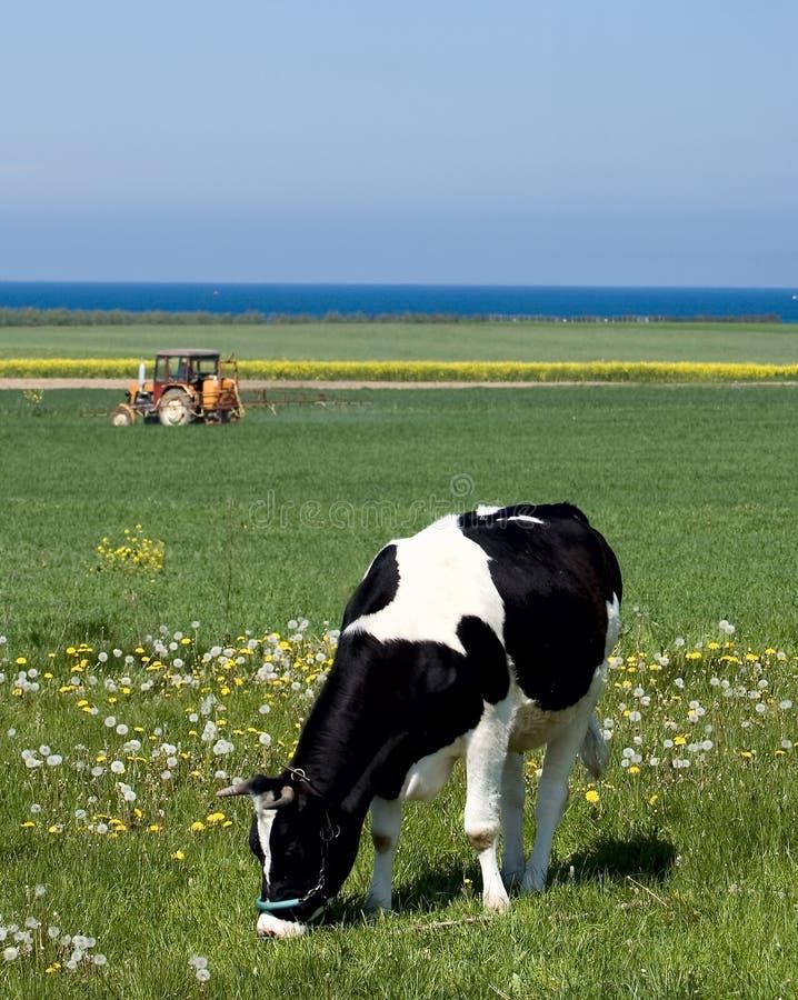 Vaca lechera fotos de archivo libres de regalías