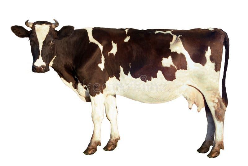 Vaca lechera aislada fotos de archivo