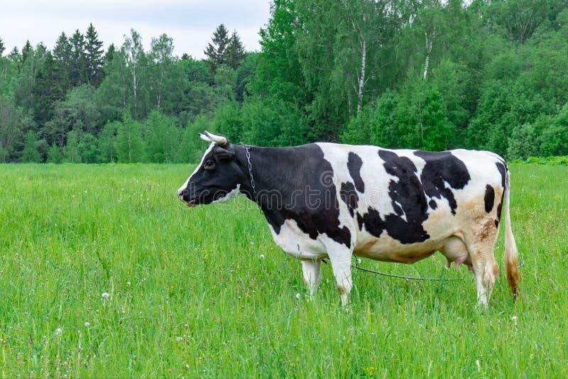 Vaca lechera de Holstein que alimenta comiendo la hierba en un pasto del campo el d?a de verano, concepto org?nico natural de la  imágenes de archivo libres de regalías