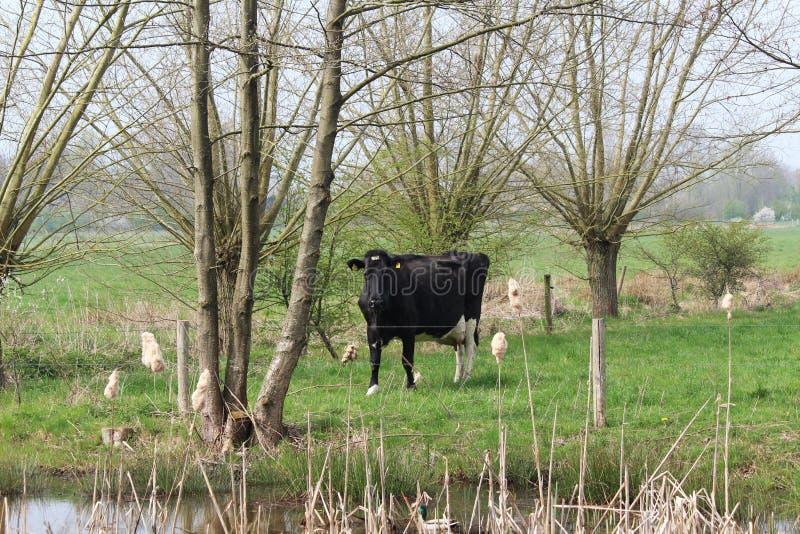 Vaca lechera en paisaje holandés imágenes de archivo libres de regalías
