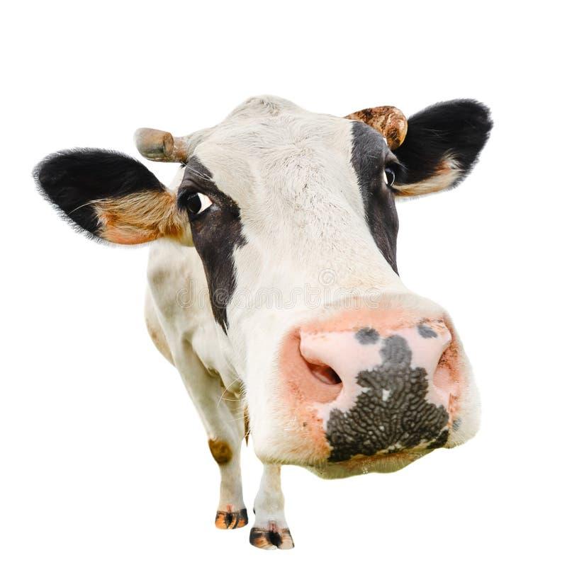 Vaca linda divertida aislada en blanco imagenes de archivo