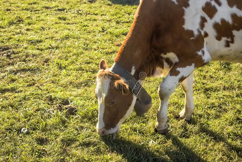 Vaca manchada blanca de Brown imágenes de archivo libres de regalías
