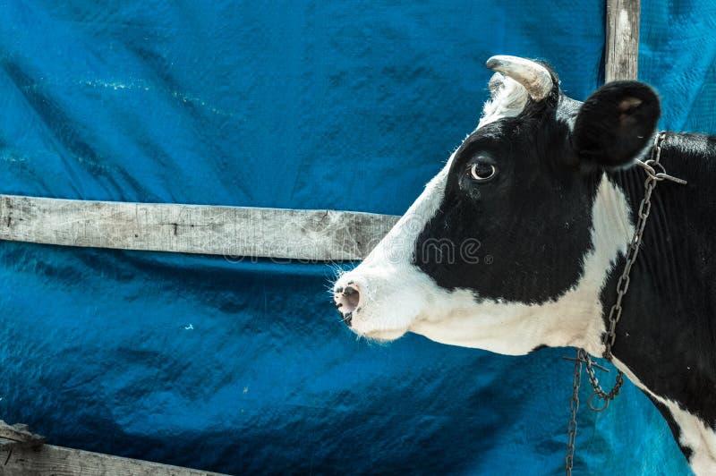 Vaca manchada blanco y negro de la lechería en el pueblo imagen de archivo libre de regalías