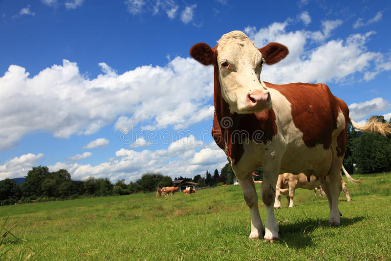 A vaca marrom imagem de stock