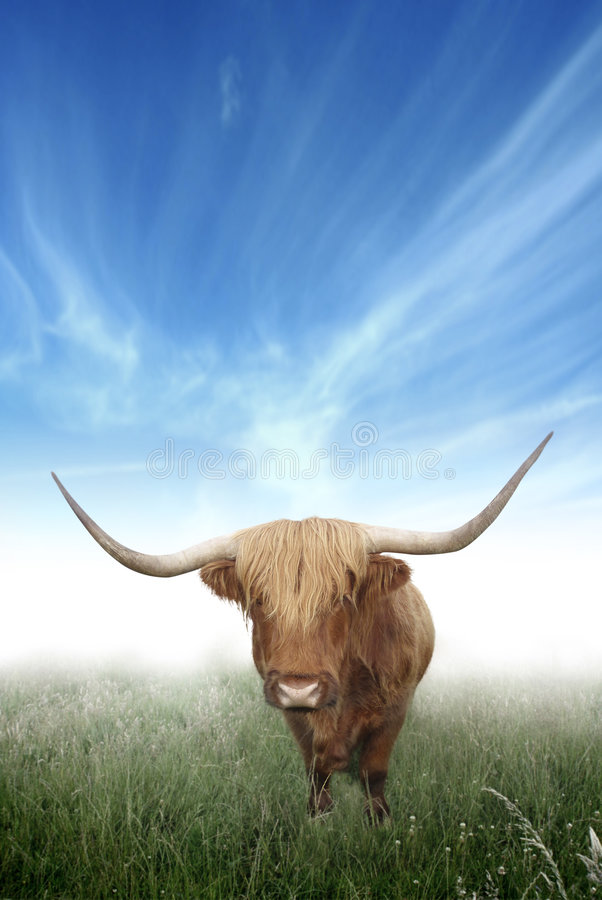 Vaca melenuda de la montaña escocesa imagenes de archivo
