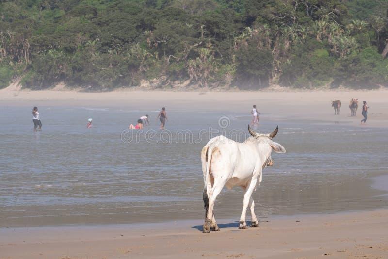 Vaca na areia na segunda praia, St Johns portu?rio na costa selvagem em Transkei, ?frica do Sul Os povos nadam no mar na dist?nci imagens de stock