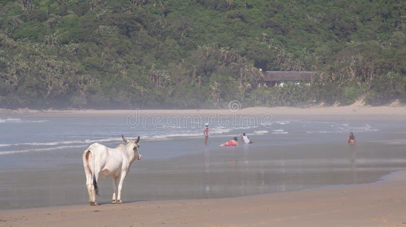 Vaca na areia na segunda praia, St Johns portu?rio na costa selvagem em Transkei, ?frica do Sul Os povos nadam no mar na dist?nci fotografia de stock