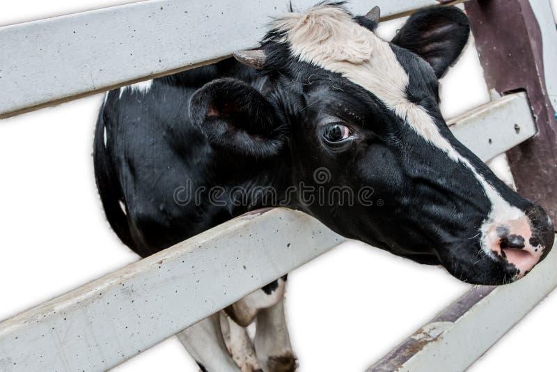 Vaca na exploração agrícola fotos de stock