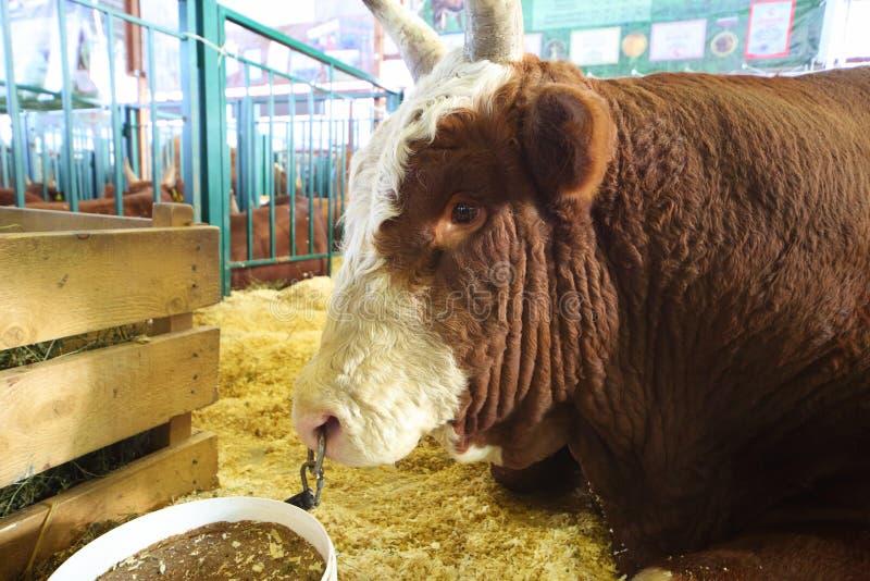 Vaca na exposição agrícola Autumn-2012 dourado do 14o Todo-russo fotografia de stock royalty free