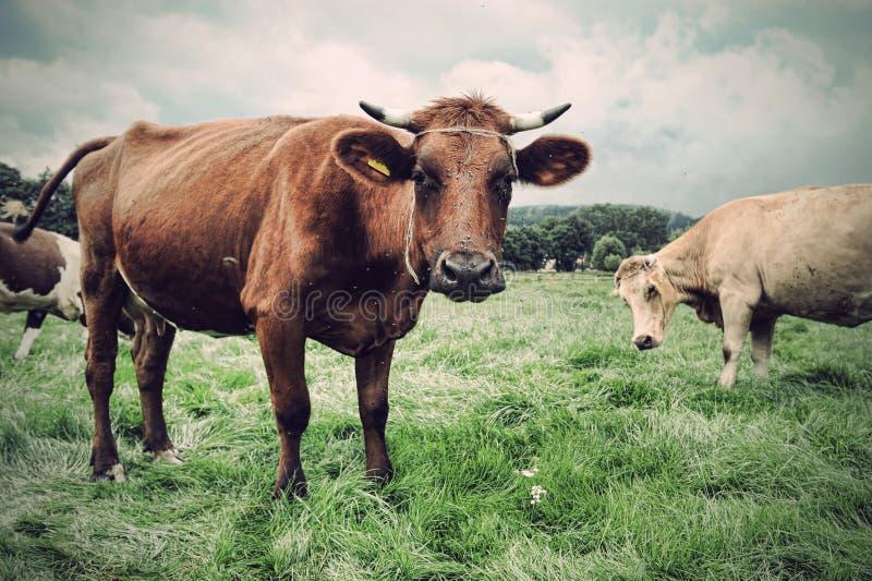 Vaca na grama verde imagens de stock