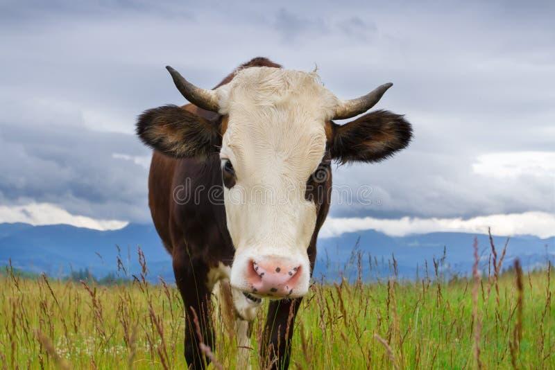 Vaca na montanha foto de stock royalty free