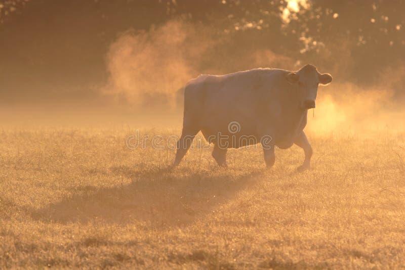 Vaca na névoa gelado da manhã. fotografia de stock