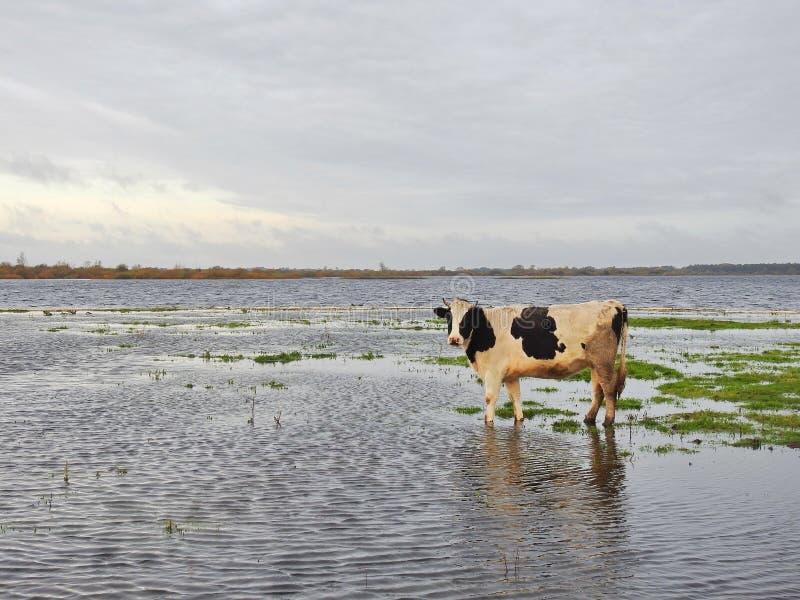 Vaca no campo de inundação, Lituânia fotografia de stock royalty free