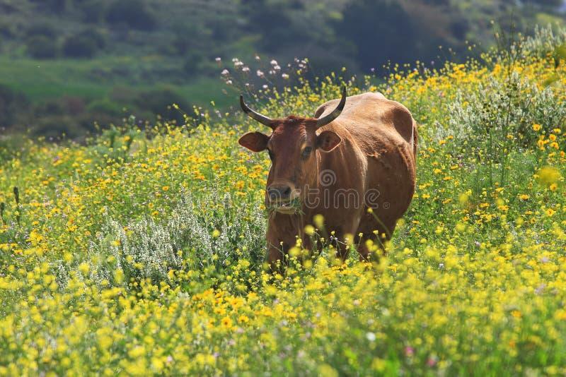 Vaca no campo. Israel. imagens de stock