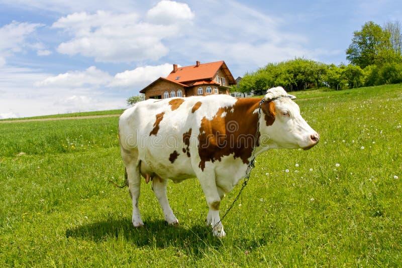 Vaca no campo verde imagens de stock royalty free