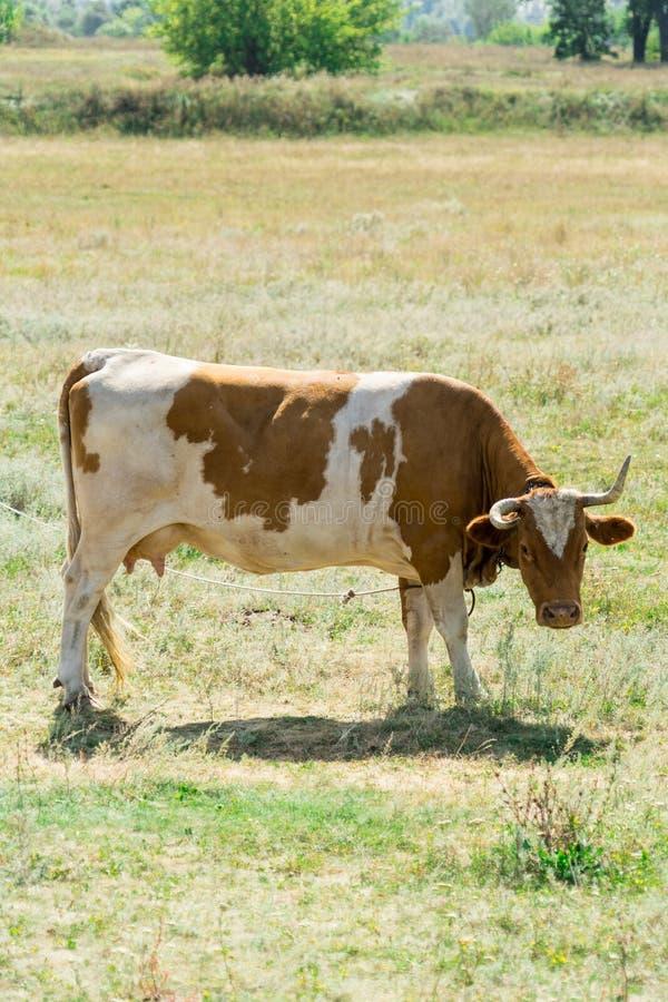 A vaca no pasto Lugar para seu texto fotografia de stock