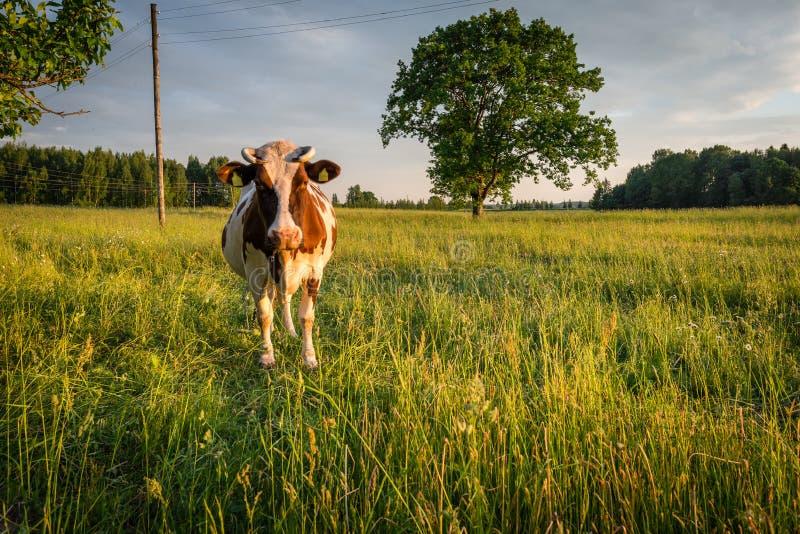 Vaca no pasto no campo letão no por do sol fotografia de stock