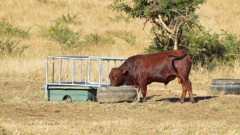 Vaca no tempo de alimentação foto de stock royalty free