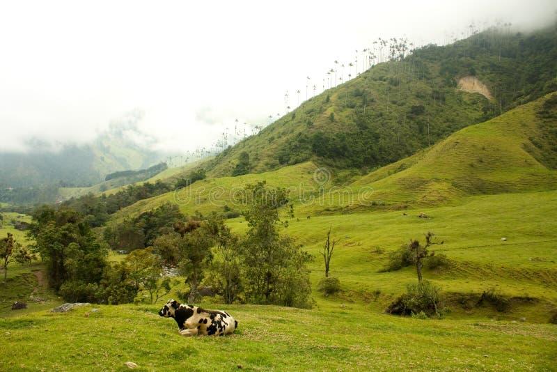 Vaca no vale de Cocora foto de stock royalty free