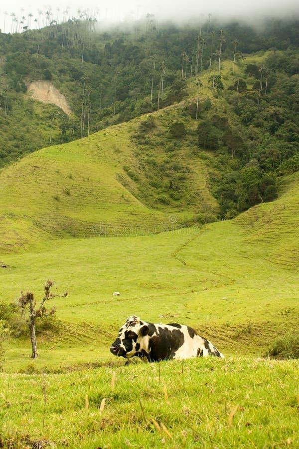 Vaca no vale de Cocora fotos de stock