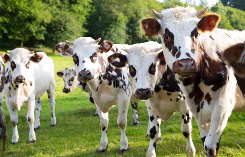 Vaca normanda en el campo fotos de archivo