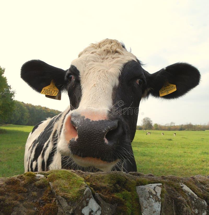 Vaca Nosy fotos de archivo