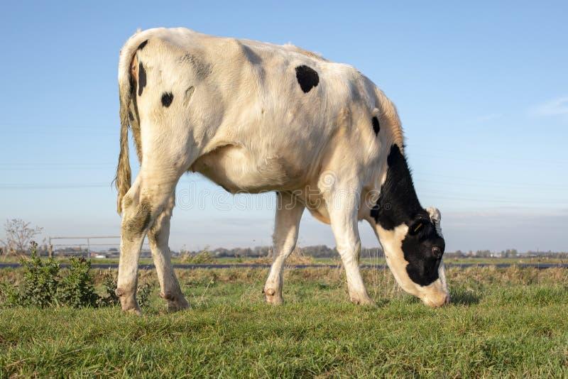 Vaca nova branca com pontos pretos, bezerra, pastando em um prado na Holanda fotografia de stock royalty free