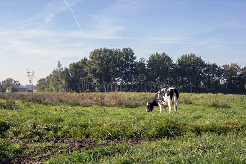Vaca nova preto e branco, bezerra, raça do gado MRIJ com tetas minúsculas, nos Países Baixos imagem de stock