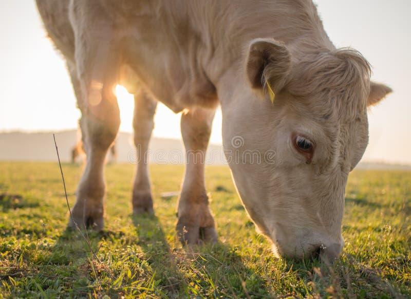 Vaca nova que pasta no nascer do sol imagem de stock