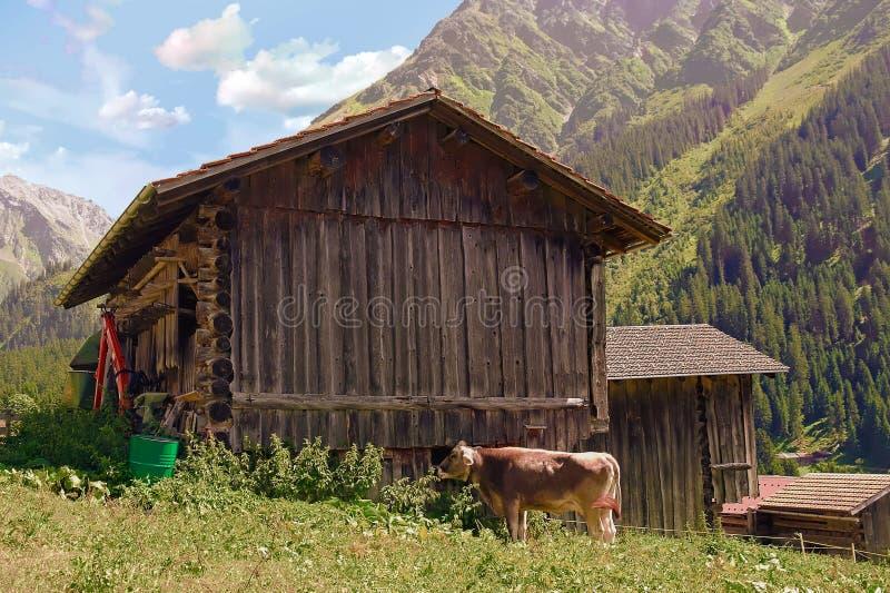 Vaca pelo celeiro velho nas montanhas imagem de stock royalty free